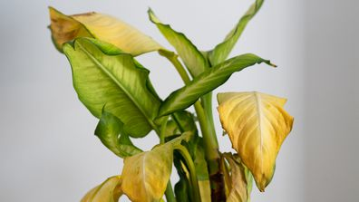 Indoor plants get sunburn: Here's what it looks like and how to stop it happening