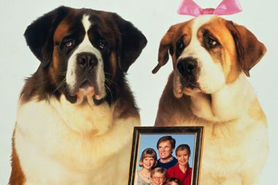 This mischievous St Bernard has starred in seven movies, along with his many droopy-faced pups.<br/>