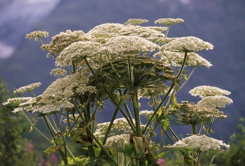 Hogweed is a wild invasive plant that has taken hold across North America. Picture: Getty