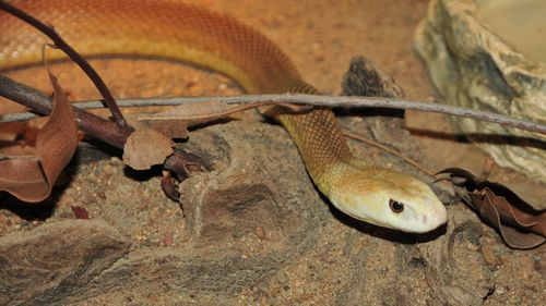 A Coastal Taipan, similar to the snake that bit Eli.