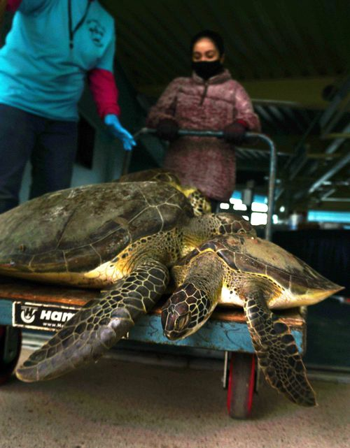 A volunteer gently transports cold stunned sea turtles.