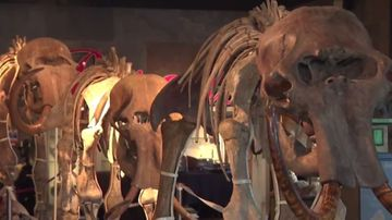 Mammoth 'family' up for auction in England