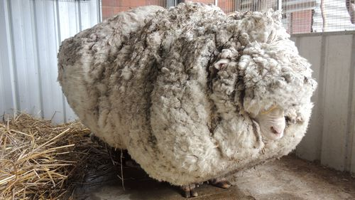 Chris, yielded 40 kilograms of wool  the equivalent of 30 sweaters  and sheded almost half his body weight.