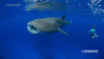 NASA technology helping study WA's mysterious whale sharks