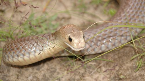 It's believed the teen was bitten by a brown snake. (File image)