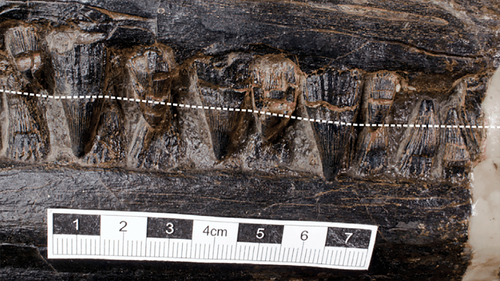 This image shows the ichthyosaur's teeth.