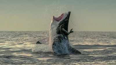 The giant great white burst from the water only for the seal to bounce off the tip of its nose high into the air.
