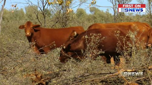 Cattle studs are being forced to sell stock to save their farms.
