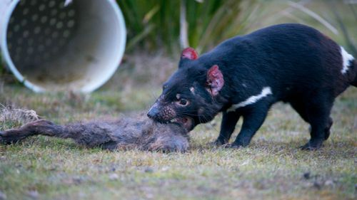 The devils will share the site with wallabies and wombats. (AAP)