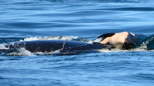 Whale carries dead calf for a week off US coast