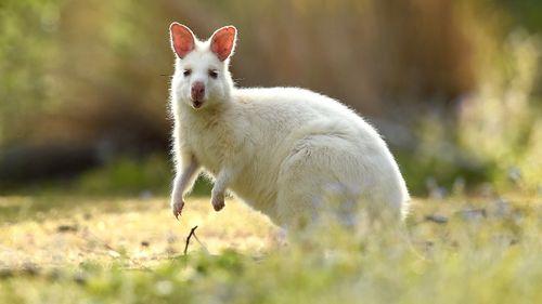 An albino Bennett's wallaby. (AAP)