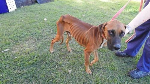 Emaciated dog recovering after being dumped at New South Wales pound