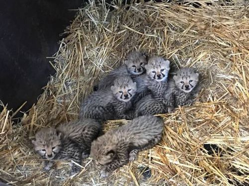 Six baby cheetahs have been born at Taronga Western Plain Zoo. Picture: Jennifer Conaghan
