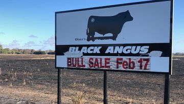 A South Australian couple who has bred Angus stud cattle for the past 25 years was left devastated when they lost almost 250 of their cows in the recent Lucindale fire.