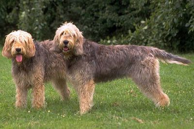 <p>Otterhound</p>