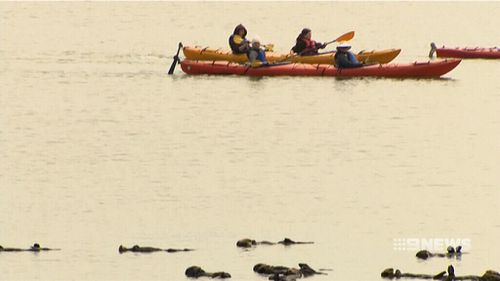 Many tourists are taking to the water to get a closer look at the creatures.