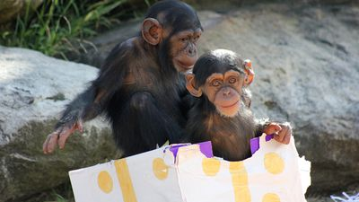 Much like cats, these young chimps enjoyed the spacious gift box.
