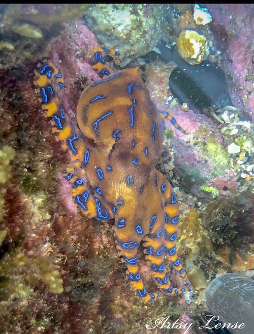 A blue-ringed octopus at Coogee beach