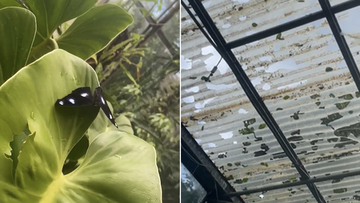 Hail stones tore through the roof of the enclosure killing many butterflies and allowing others to escape.