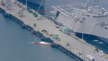 The Navy ship was docking at San Diego when the whales were found.