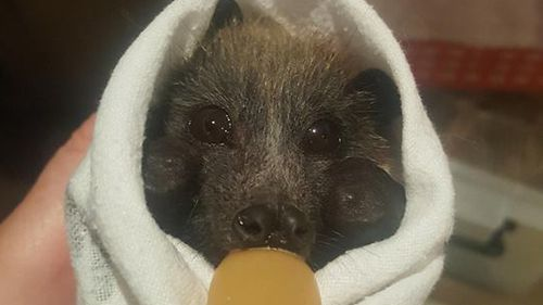 A rescued flying fox in Campbelltown. (Facebook/Help Save the Wildlife and Bushlands in Campbelltown)