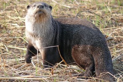 <p>African clawless otter (Aonyx capensis)</p>