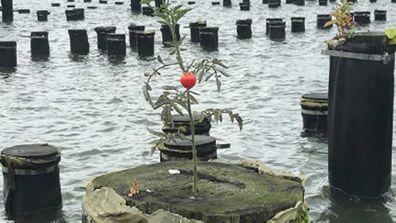 Brooklyn Bridge Park tomato plant