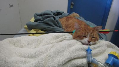 Cat found with arrow stuck in its head 'for up to two days'
