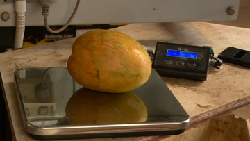 Jenko's Mangoes discovered the whopper mango, which weighed in at 1.5 kilograms.