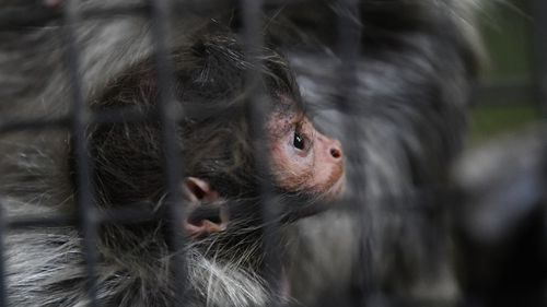 """Keepers described the youngster as a """"little troll doll"""". (AAP)"""