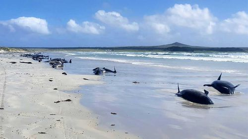 Some of the nearly 100 pilot whales beached on the Chatham Islands.