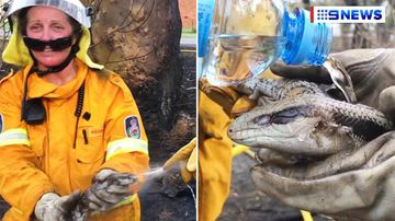 Volunteer firefighters battle to save burnt blue-tongue lizard in touching video from NSW bushfires