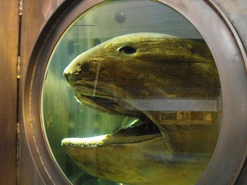 The megamouth shark displayed in the Western Australian Museum.