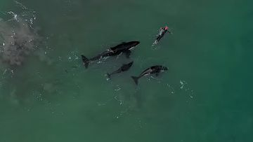 Three orca surrounded the swimmer