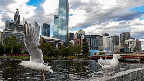 Seagulls flying over Yarra River in Melbourne