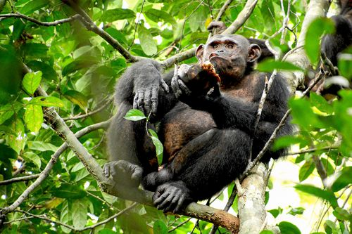 A wild chimpanzee eats a tortoise, whose hard shell was cracked against tree trunks before scooping out the meat at the Loango National Park on the Atlantic coast of Gabon.