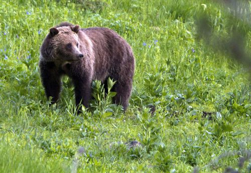 Bear hunting has been delayed in the lower US 48 states for two weeks.