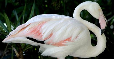 "Adelaide Zoo was home to the world's oldest flamingo up until January 31, 2014, when the bird affectionately nicknamed ""Greater"" died. He lived a surprisingly long life, racking up an impressive 83 years. (AAP/Adelaide Zoo, Nicole Miller)"