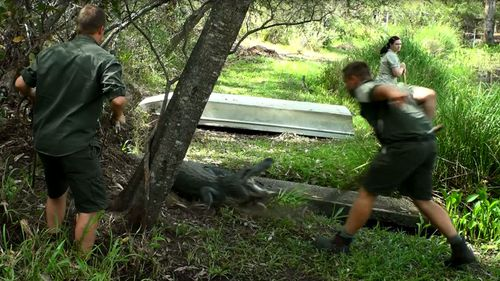 The alligator lunged out at the approaching men. (Image: Tim Faulkner/Australian Reptile Park)