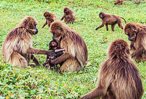 Group of gelada baboons (Getty)
