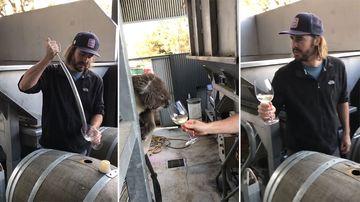 'Drinky Bill': Curious koala stops by winery