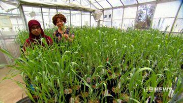 'Super wheat' to revolutionise Aussie diets