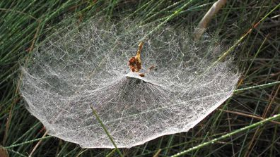 Tent spiders created the unusual 'dome webs' suspended across long grass in Port Macquarie's Kooloonbung Creek Nature Reserve.