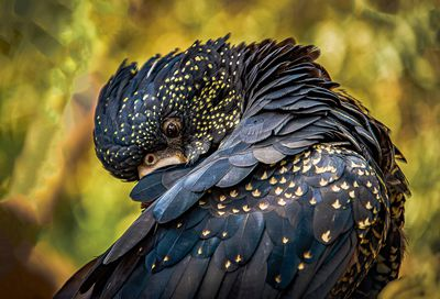 'Black Cockatoo' - Commended